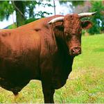 Bull Semen hair treatment